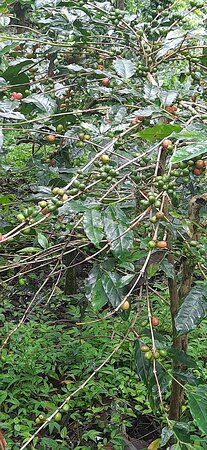 Private Mercara Coorg Coffee and Spice Estate Tour 사진