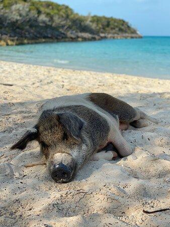 Lazy mama on Big Major Cay.