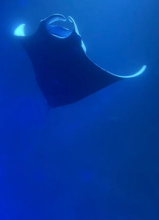 Manta Ray Night Snorkel: manta ray