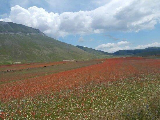 Castelluccio di Norcia, Italien: La fioritura è sempre un grande spettacolo ... (Giugno 18 )