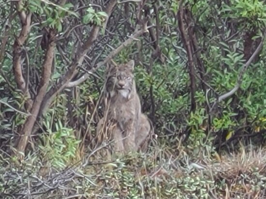 Spotted this Lynx sitting in the brush along a dry creek bed - right by the road.  Something you're not going to see from a bus.  Near Highway Pass area.