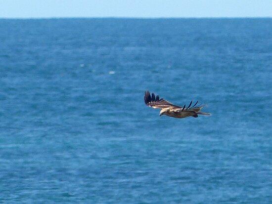 Whistling kite Haliastur sphenurus