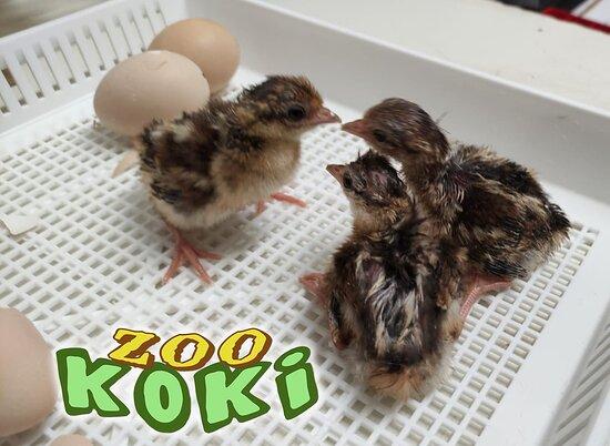 Pollos de faisán
