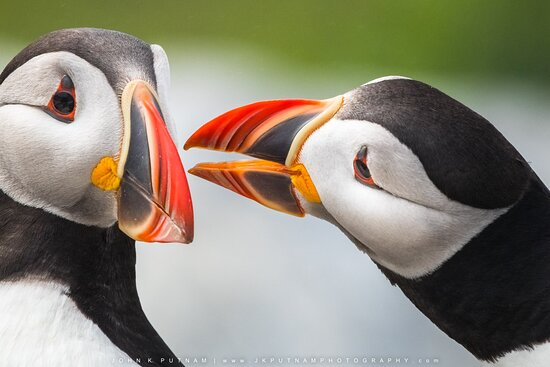 Atlantic puffins from our Acadia and Beyond photography workshop.