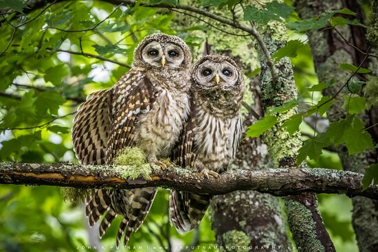A pair of barred owlets in Acadia National Park, Maine.