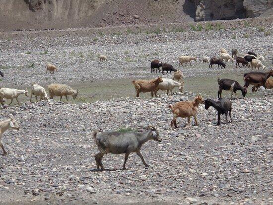 Tayikistán: Na jednym z postojów obserwowaliśmy olbrzymie stado kóz