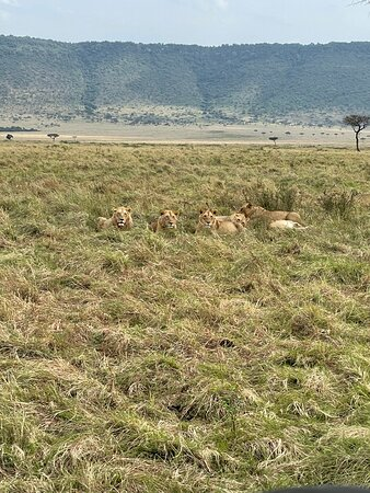 Lions near the lodge. Lots of lion viewing in the Mara!