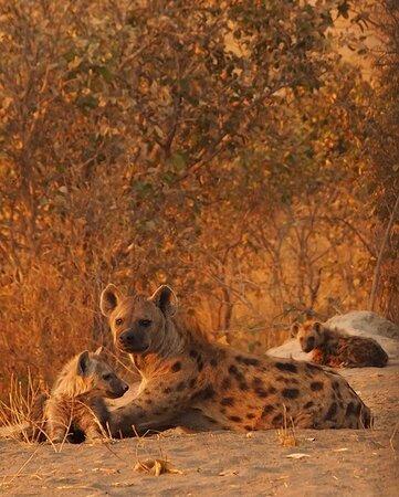 Hyena's family