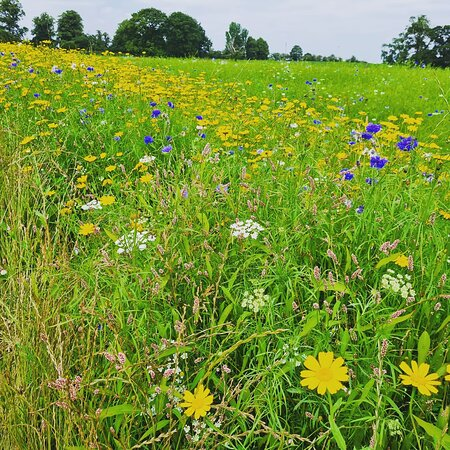 Beautiful wildflowers and so many bees!