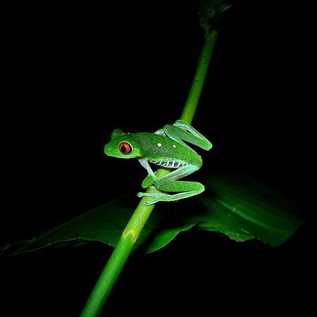 Red eye frog Night Tour