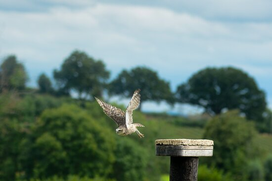 Burrowing owl takes to the sky.