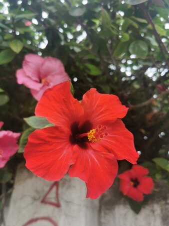 Precioso hibiscus rojo.