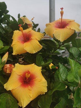 Precioso hibiscus amarillo.