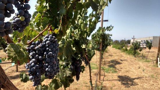 Wine tour valley of guadalupe: Vendimia