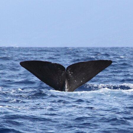 Azores Whale Watching   Observacao Baleias e Golfinhos - Faial Pico: cachalot en plongée
