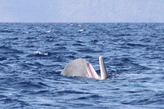 Azores Whale Watching   Observacao Baleias e Golfinhos - Faial Pico: cachalot en position verticale