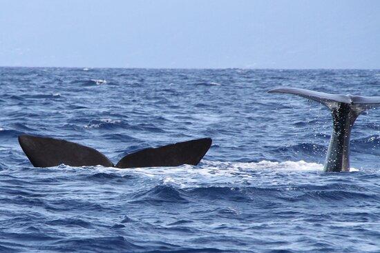 Azores Whale Watching   Observacao Baleias e Golfinhos - Faial Pico: cachalots en plongée