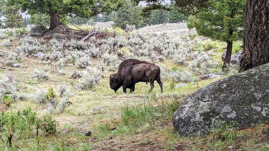 6-day Tour in Yellowstone and Grand Teton: Bison