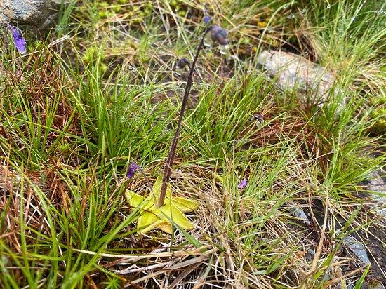 Llangoed, UK: Common Butterwort