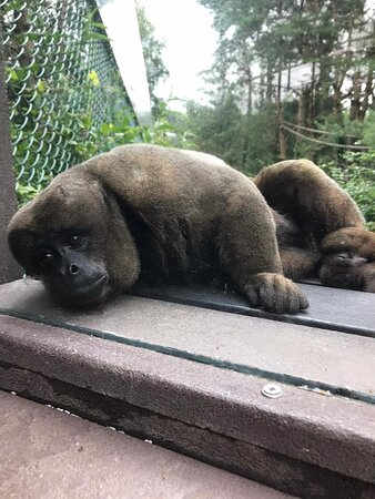 Woolly Monkey resting by the viewing window