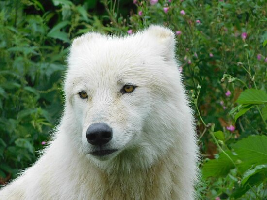 One very gorgeous Arctic Wolf giving a nice pose