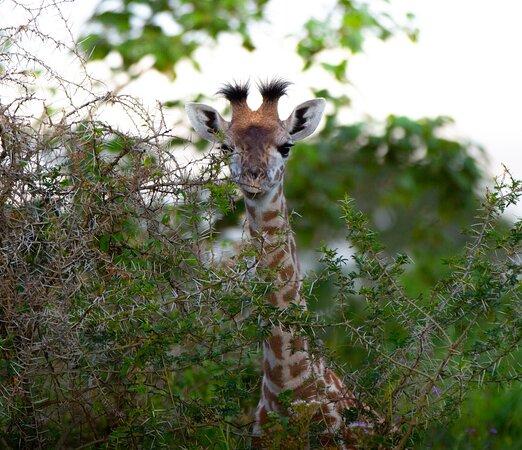 Safari to Mara River: giraffe baby
