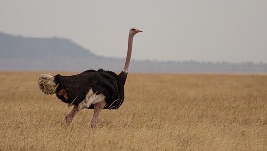 Safari to Mara River: Ostrich