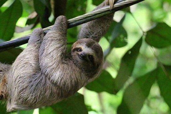 Incredibile tour del bradipo nella foresta pluviale ed escursione