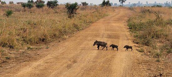 8 Day Uganda - Gorilas de Ruanda y Safari de caza mayor: Murchison Falls Park