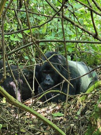 8 Day Uganda - Gorilas de Ruanda y Safari de caza mayor: Silverback gorilla in Bwindi