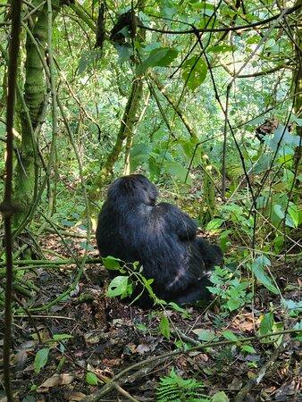 8 Day Uganda - Gorilas de Ruanda y Safari de caza mayor: Gorilla in Bwindi Forest