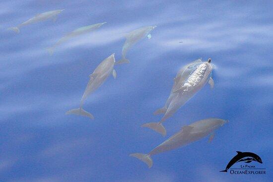 Spotted dolphins. OceanExplorer La Palma