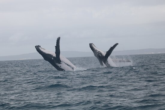 Hervey Bay Whale Watching Experience: Twin breaches galore!