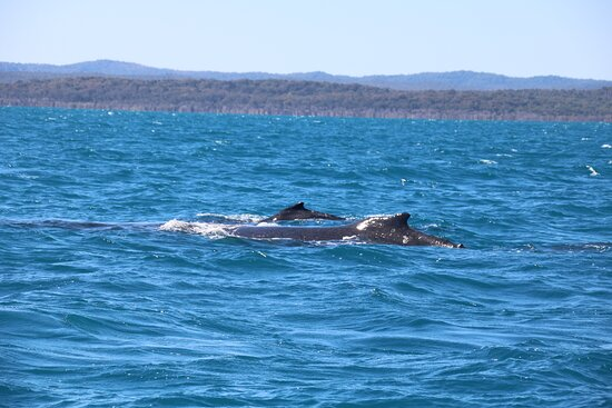 Hervey Bay Whale Watching Experience: mother and calf