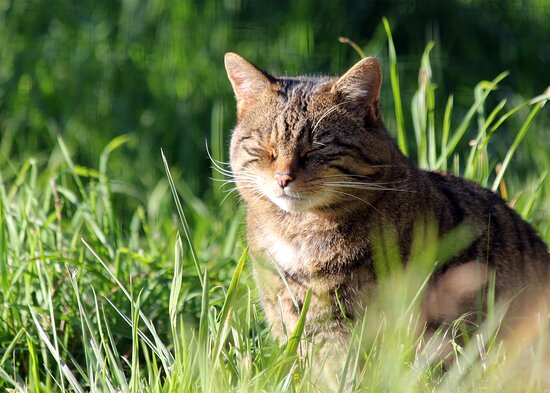 Cromarty the Scottish Wildcat enjoys some sun at Northumberland Zoo.
