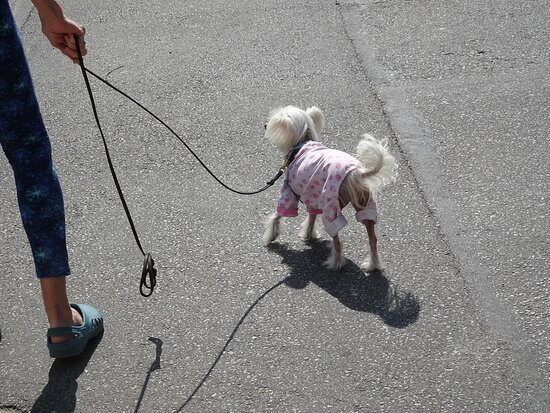 A pocketbook-pooch out for a Yaletown stroll