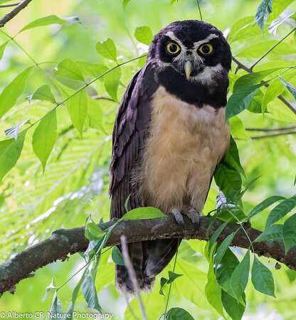 Spectacled owl This is mommy or daddy, this is how a full grown spectacled owl looks like. They are great parents.