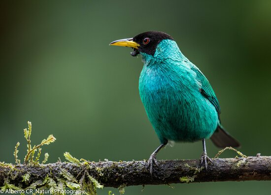 Green Honeycreeper is a wonderful small bird with bright coloured plumage. Male and female are very different