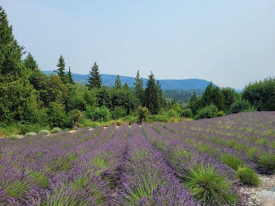 Purple Robe Lavender Farm