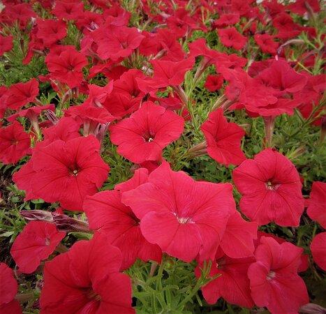 Пеория, Иллинойс: Summer-loving Petunias: Enjoy your weekend, everybody! August 2021