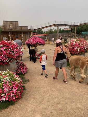 Alpaca walks at Grotto Gardens