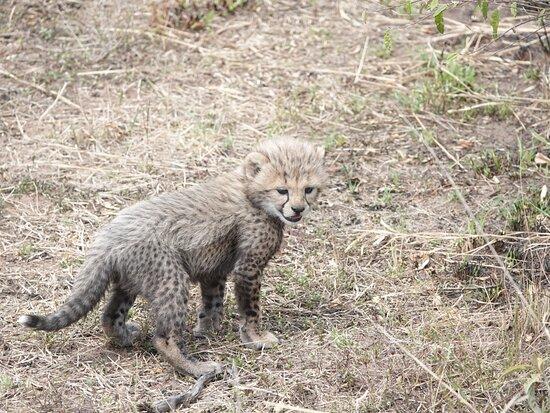 ניירובי, קניה: Baby Cheetah, Masai Mara