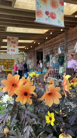 Our Dahlia Summer Market