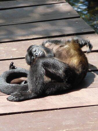 mika relax!!!!! singe hurleur mais c est une femelle donc pas de bruit