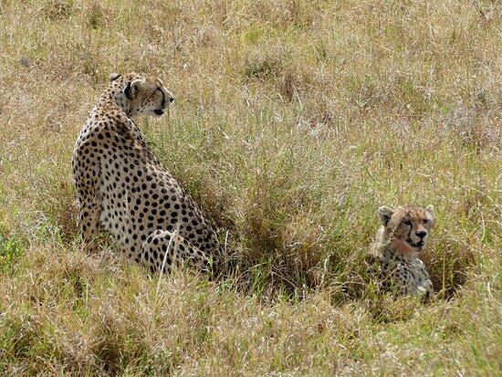 Tanzanie : Geparden