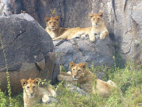 Tanzanie : Löwen