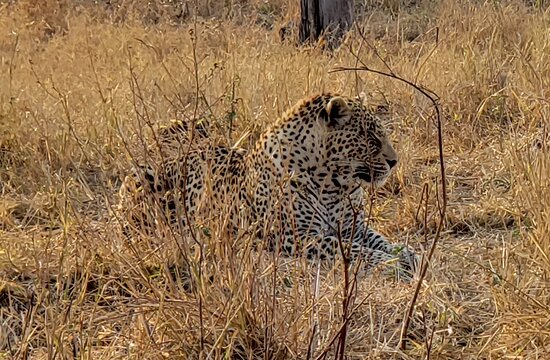 our amazing experience with a leopard - about 5 meters away!