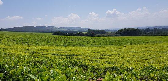 Kericho, كينيا: One of the many bliss beautiful tea plantations in Kenya