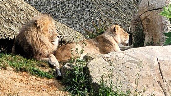 Magnifiques lions d'Afrique du Sud