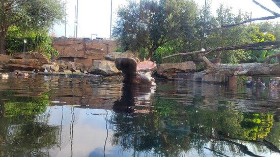 L'hippopotame qui baille.